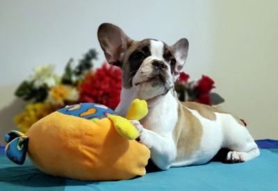 French Bulldog PUPPY FOR SALE ADN-79777 - FrenchieZ PuP