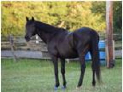 Adopt Aiken a Thoroughbred