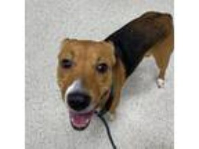 Adopt Freya a Brown/Chocolate Mixed Breed (Medium) dog in Jacksonville