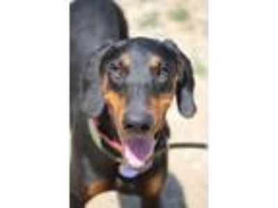 Adopt Ember a Black - with Tan, Yellow or Fawn Doberman Pinscher / Mixed dog in