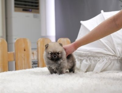 Pomeranian PUPPY FOR SALE ADN-113788 - Faith female pomeranian puppy available now