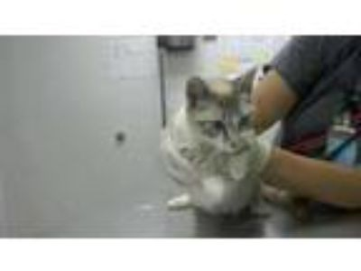 Adopt Rebecca a Cream or Ivory Siamese / Domestic Shorthair / Mixed cat in
