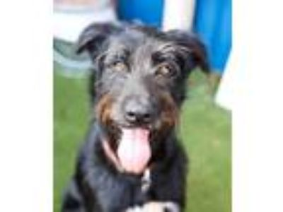 Adopt Pud (aka Nemo) a Black - with White Labrador Retriever / Husky / Mixed dog