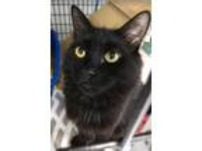 Adopt Ash a Domestic Medium Hair