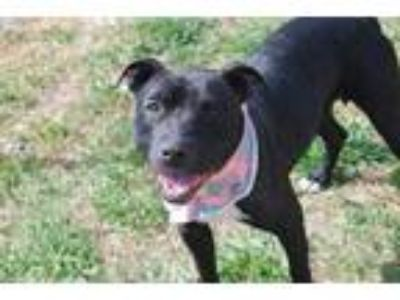Adopt Amara a Black American Pit Bull Terrier / Mixed dog in Newton