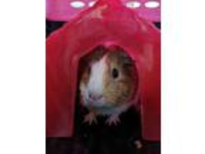 Adopt Theo a White Guinea Pig / Guinea Pig / Mixed small animal in Chesapeake