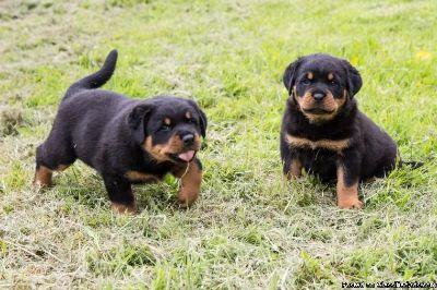 Rottweiler puppies,