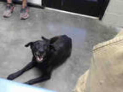 Adopt MAGGIE a Black - with White Labrador Retriever / Mixed dog in Tulsa