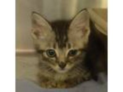 Adopt Bippy a Brown or Chocolate Domestic Shorthair cat in Bryan, TX (25861186)