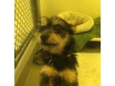 Adopt Aya a Black Terrier (Unknown Type, Small) / Mixed dog in San Francisco