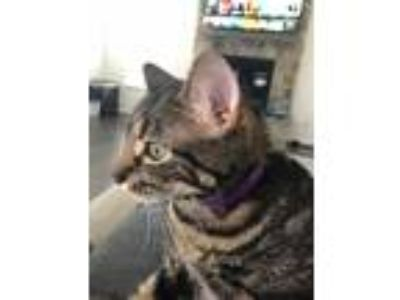 Adopt Leia a Tiger Striped American Shorthair / Mixed cat in Dumfries
