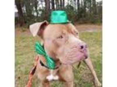 Adopt Odin a Pit Bull Terrier