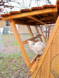 5 ft tall portable chicken coop in movable chicken yard WINTER SALE in Kansas city area