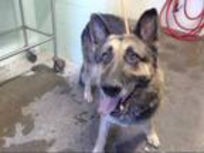 Adopt GUNTHER a Brown/Chocolate - with Black German Shepherd Dog / Mixed dog in