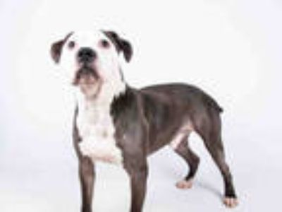 Adopt ACORN a Black - with White American Pit Bull Terrier / Mixed dog in