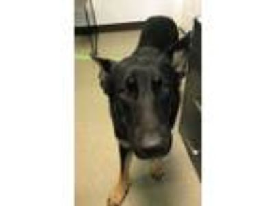Adopt Brownie a German Shepherd Dog