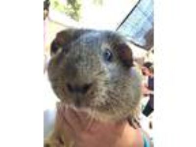 Adopt BUDDY a Buff Guinea Pig / Mixed small animal in Goleta, CA (25849167)