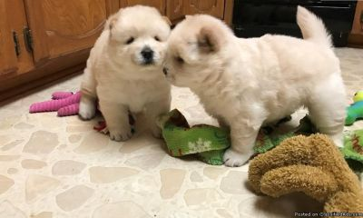 trjxyth chow chow gss puppies