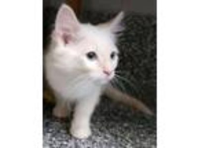 Adopt Shy Shy a Domestic Long Hair