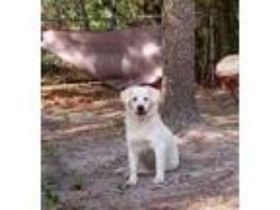 Adopt Sheeba a Golden Retriever