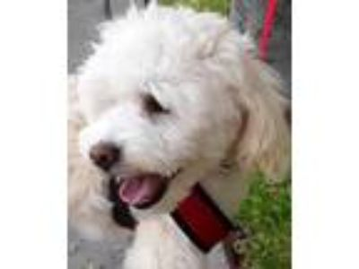Adopt Whiskey a Poodle