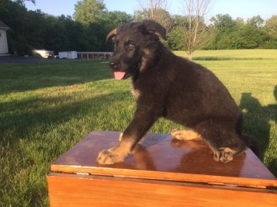 German Shepherd Dog PUPPY FOR SALE ADN-80913 - German Shepherd Working Dog Puppies
