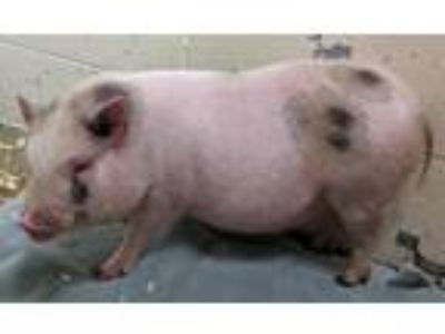 Adopt Mickey a Pig (Potbellied) / Pig (Potbellied) / Mixed farm-type animal in