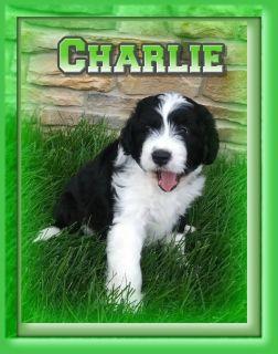 Charlie Male Mini Bernedoodle