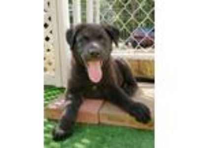 Adopt RONIN a Labrador Retriever, Border Collie