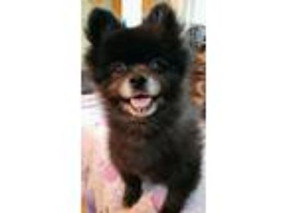 Adopt Champ **has heart condition see bio a Pomeranian