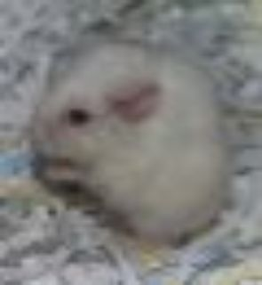Benbrook~ Snookums Dwarf Hamster Small & Furry