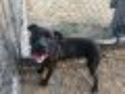 Nigel Pit Bull Terrier Dog