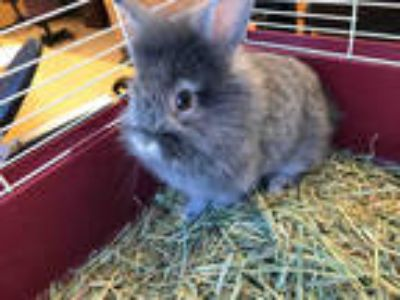 Adopt JULIET* a Grey/Silver Other/Unknown / Mixed rabbit in Garland