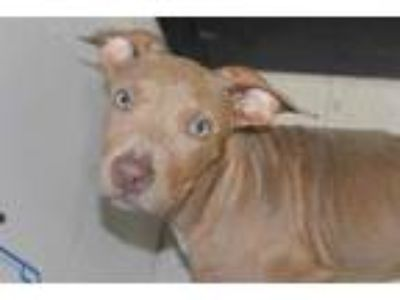 Adopt TAYLOR a Brown/Chocolate American Pit Bull Terrier / Mixed dog in Panama