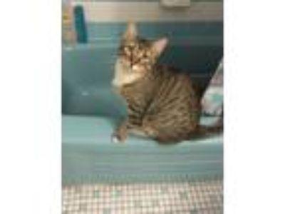 Adopt Bonya a American Shorthair