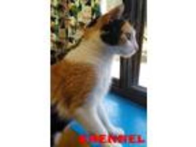 Adopt CHENNEL a Domestic Short Hair
