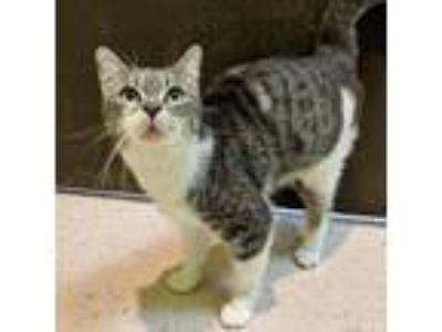 Adopt Spoons a Gray or Blue Domestic Shorthair / Domestic Shorthair / Mixed cat