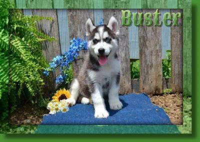 Buster AKC Male Siberian Husky