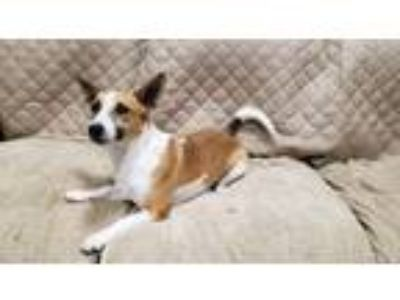 Adopt Roscoe a Jack Russell Terrier