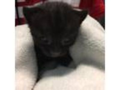 Adopt Willow a All Black Domestic Shorthair cat in Patchogue, NY (25936416)