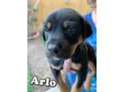 Adopt Arlo a Black - with Tan, Yellow or Fawn Labrador Retriever / Australian