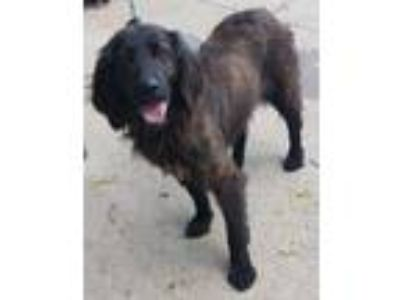 Adopt Jazzy a Brindle Poodle (Standard) / Whippet / Mixed dog in Gilberts