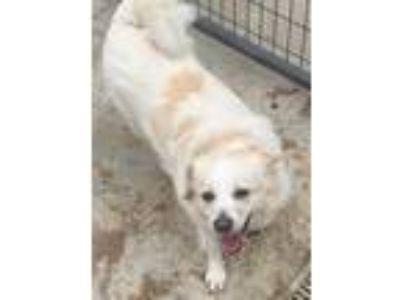 Adopt JACKIE a White Corgi / Beagle / Mixed dog in Coudersport, PA (25550952)