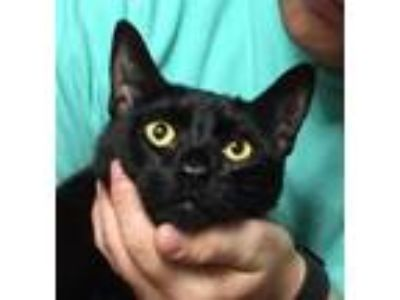 Adopt Ash a All Black Domestic Shorthair / Mixed (short coat) cat in Mobile