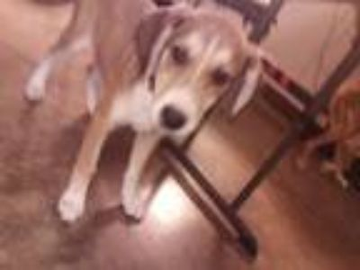 Adopt DALILA a Anatolian Shepherd, Mixed Breed