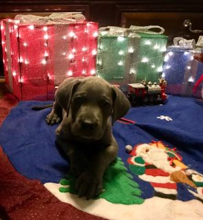 Great Dane Puppies-Championship, Health tested, solid  black.