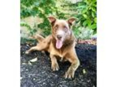 Adopt Jake a Brown/Chocolate Labrador Retriever / Husky / Mixed dog in Lathrop