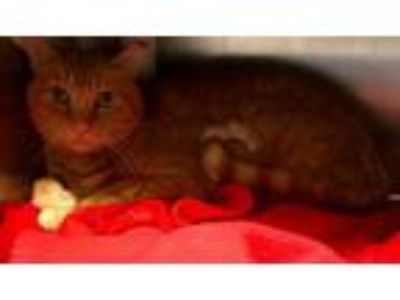 Adopt Bianca--In Foster (Sponsored) a Domestic Short Hair