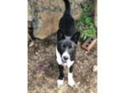 Adopt Jessi a Black - with White Border Collie / Jindo / Mixed dog in San