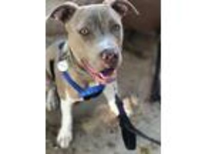 Adopt EVIE a Tan/Yellow/Fawn Pit Bull Terrier / Mixed dog in Pasadena